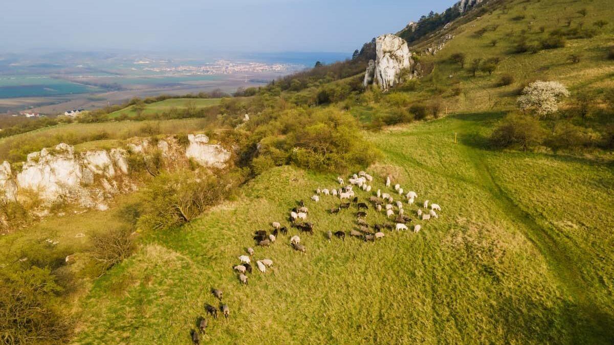 Na Stolové hoře můžete narazit na volně pasoucí se stáda ovcí a koz