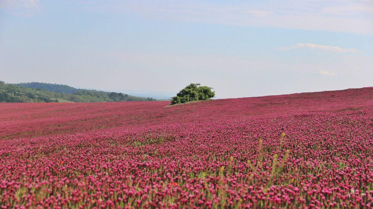 FOTO: Jetelová pole zdobí jižní Moravu