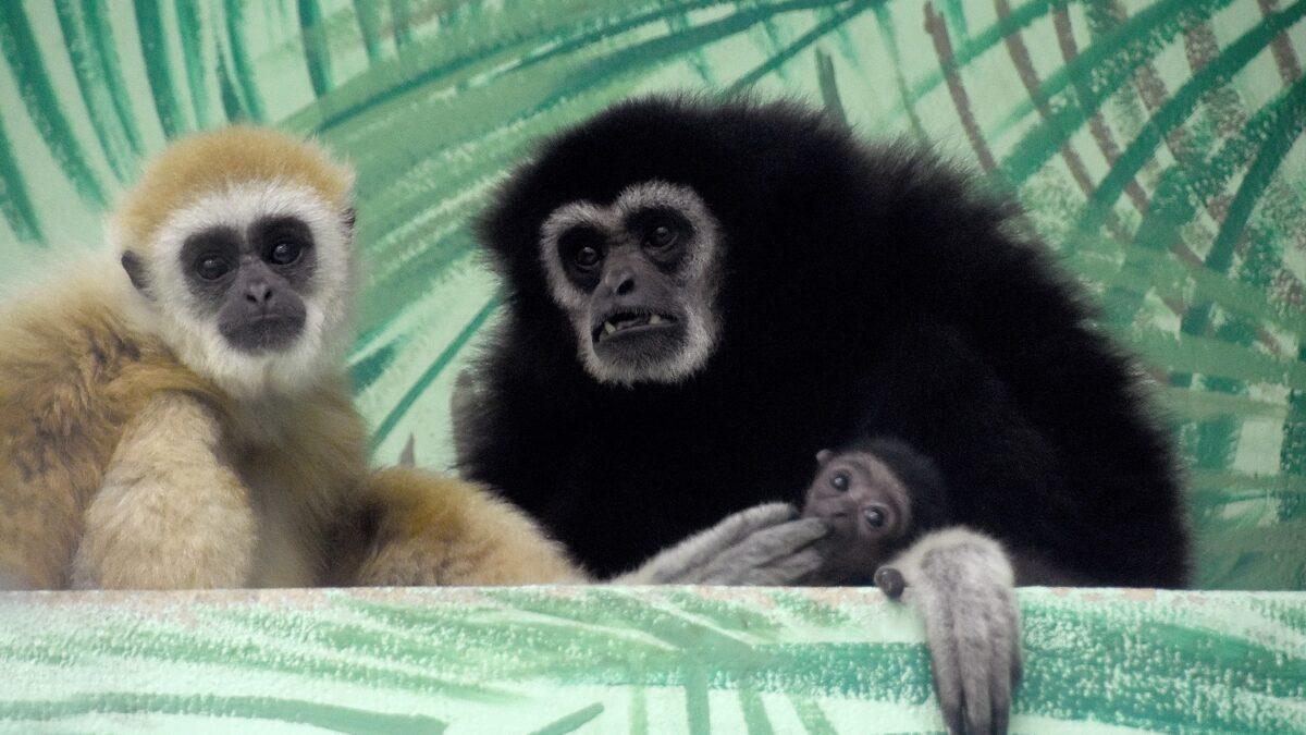 FOTO: Zoo Hodonín má přírůstek. Raduje se z mláděte gibona lar