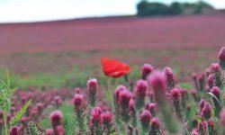 Jetelová pole obarvila jižní Moravu. Foto: ILJM/Tomáš KucejILJM/Tomáš Kucej